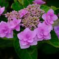 Photos: 雨の日の紫陽花2