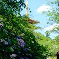 Photos: 紫陽花の前で