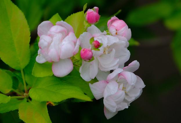 ウケザキカイドウ咲く2