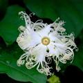 カラスウリの花1