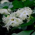 カラスウリの花2