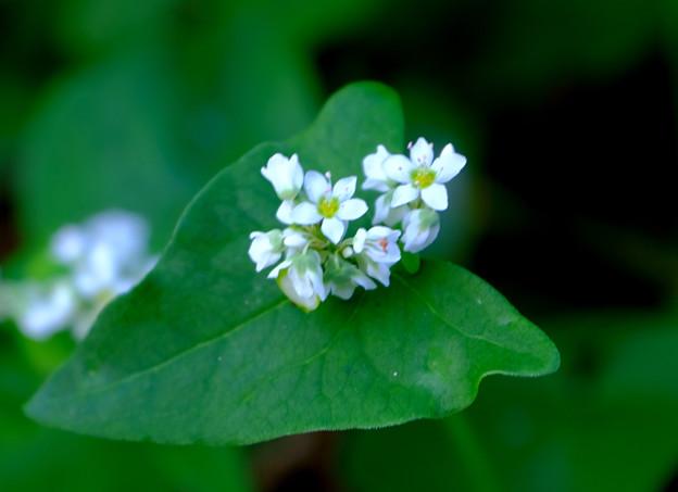ソバの花2