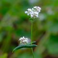 ソバの花3