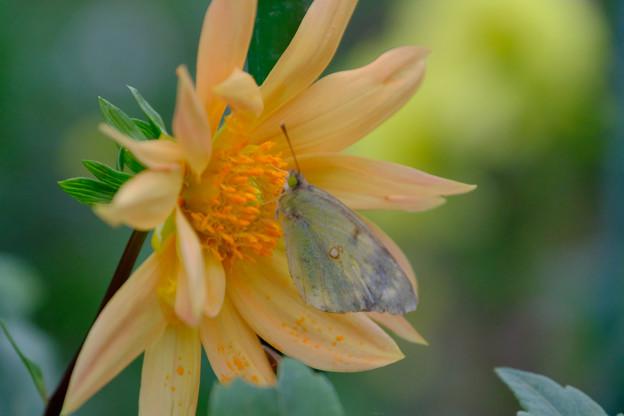 ダリアに蝶