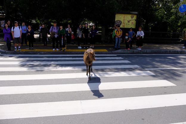 赤信号を渡る雄鹿
