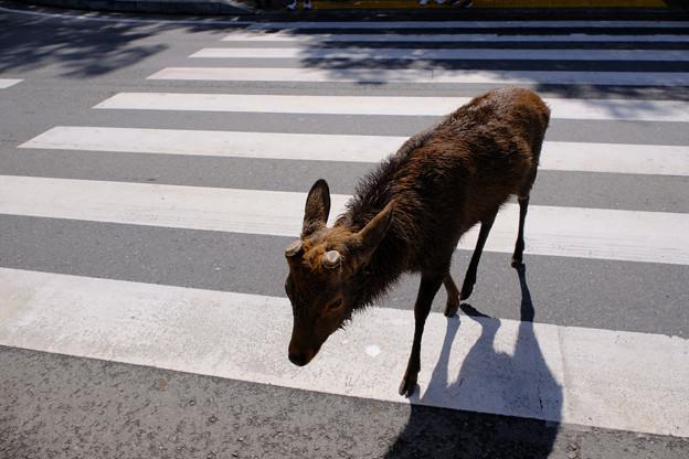 Photos: 赤信号を渡る雄鹿2