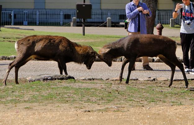 鹿の喧嘩1
