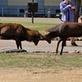 Photos: 鹿の喧嘩1