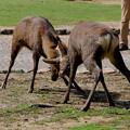 Photos: 鹿の喧嘩2