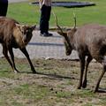 Photos: 鹿の喧嘩終了