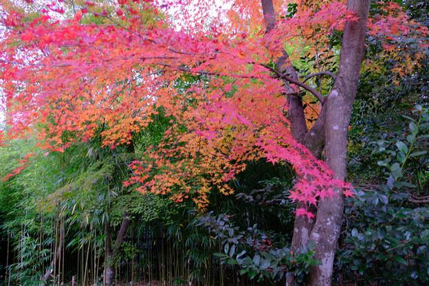四方竹と紅葉