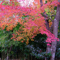 Photos: 四方竹と紅葉
