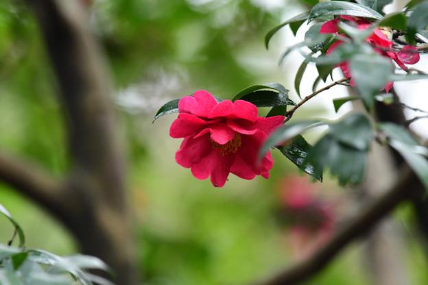 Photos: 山茶花3