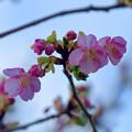 Photos: 河津さくら1