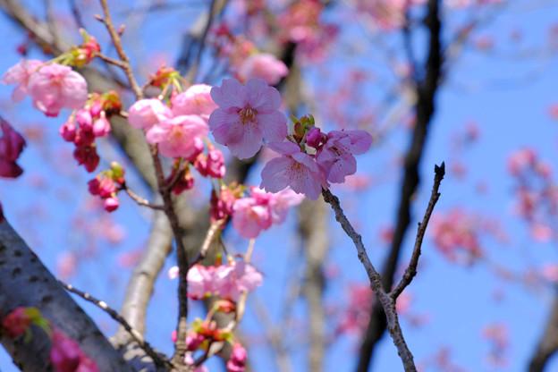陽光桜はピンク色