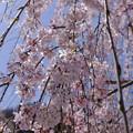淡いピンクの枝垂れ