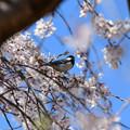 Photos: 桜シジュウカラ
