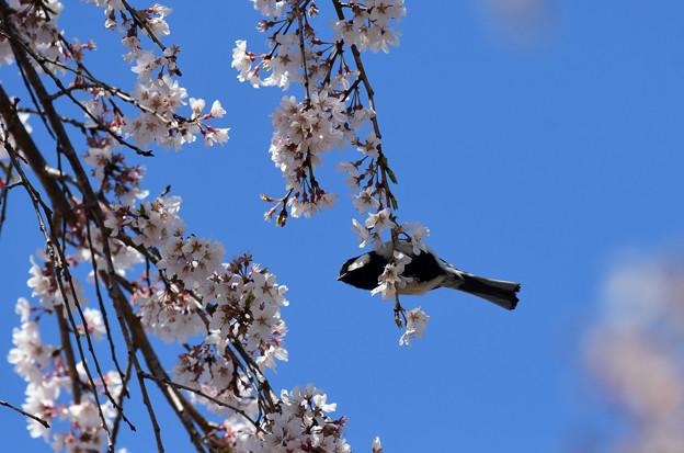 桜四十雀2