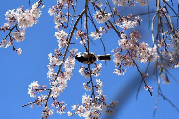 桜四十雀3