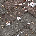 盗蜜スズメは花ごと落とす