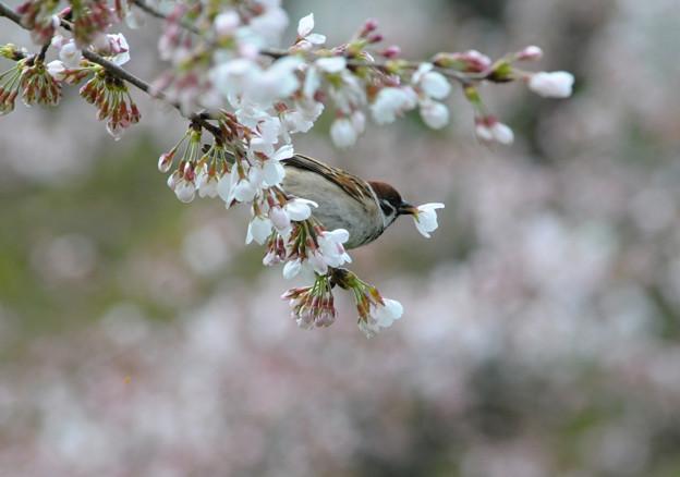 スズメの花ラッパ