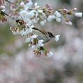 Photos: スズメの花ラッパ