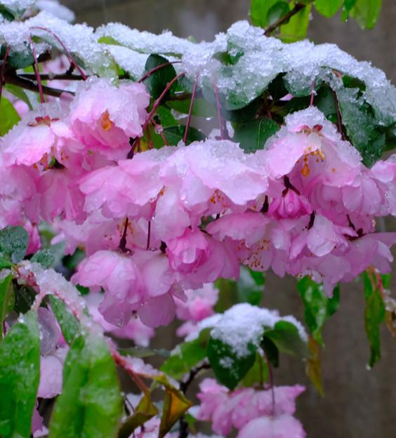 雪のハナカイドウ2
