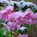 Photos: 雪のハナカイドウ2