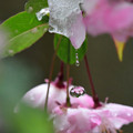 Photos: ハナカイドウから雫2