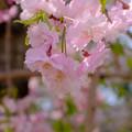 仙台枝垂れ2