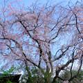 Photos: 八重紅枝垂れ