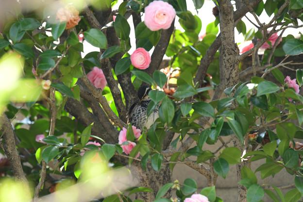 ツグミ乙女椿で羽づくろい