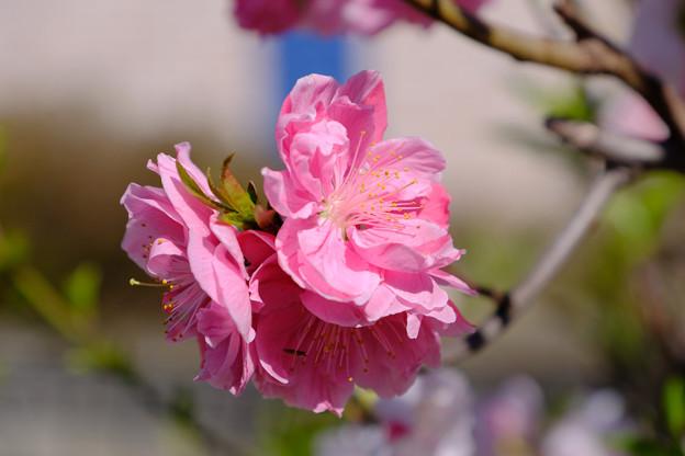 ピンクばかりの花も