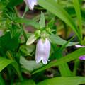 淡い紫のホタルブクロ