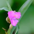 紫つゆ草2