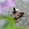 カルガモ水浴8