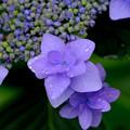 雨紫陽花2