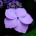 雨紫陽花3