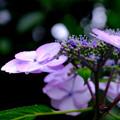 雨紫陽花4