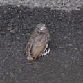 Photos: ヒヨドリ巣立ちびな2