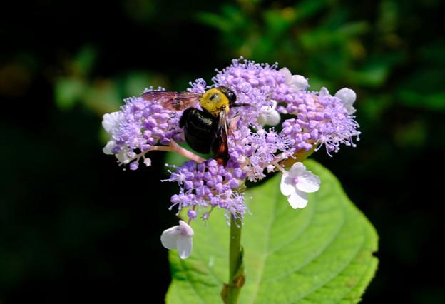 さっそくクマバチが