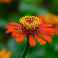 Photos: オレンジに黄色の花冠