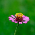 Photos: ピンクに黄色の花冠