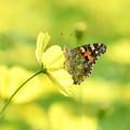 黄花にヒメアカタテハ