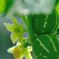 沖縄雀瓜の花