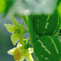 Photos: 沖縄雀瓜の花
