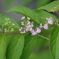 コムラサキの花1