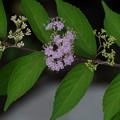 コムラサキの花2