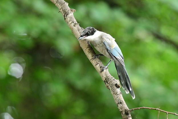近い幼鳥3