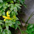 Photos: 10月6日一番手と咲き終わりの白